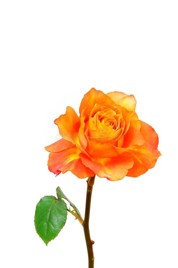 Enkelvoudige caraïbische roos dicht bij de witte achtergrond royalty-vrije stock afbeelding