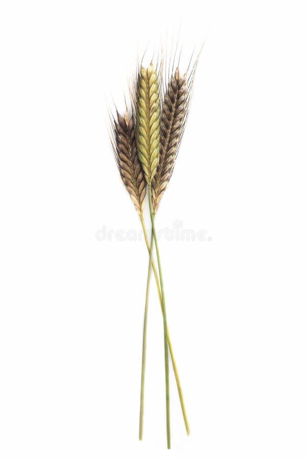Enkir triticummonococcum royaltyfri bild