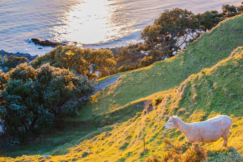 Enkla får på lutningen som förbiser Stilla havet arkivbild