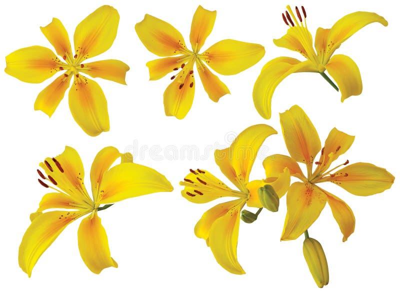 Enkla gula liljablommor på vit bakgrund royaltyfria foton
