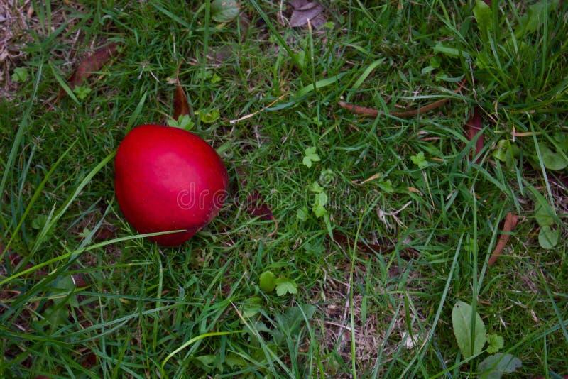 Enkla röda Apple som ligger på grovt gräs i hösten - bild royaltyfria bilder