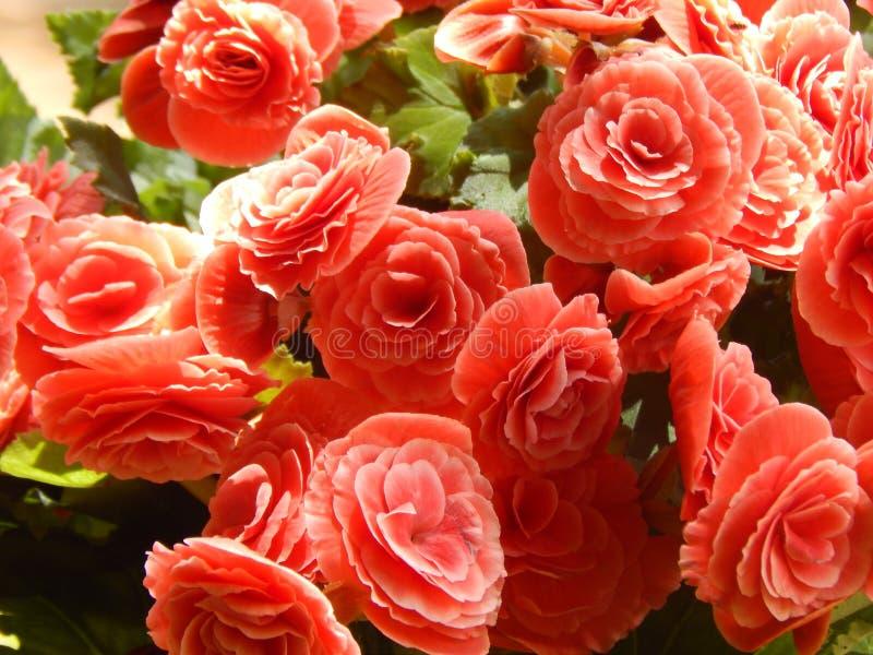 Enkla röda blommor i naturgräsplan royaltyfria foton