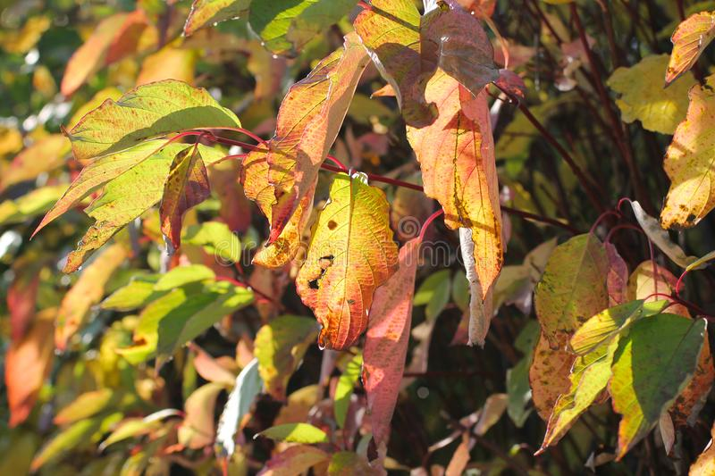 Enlightened leaves. Twig of a tree with nice yellow and red leaves enlightened with the sun royalty free stock photos
