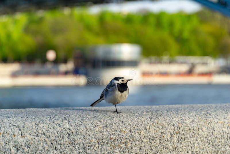 Enlock Chickadee som sätta sig på en vägg fotografering för bildbyråer