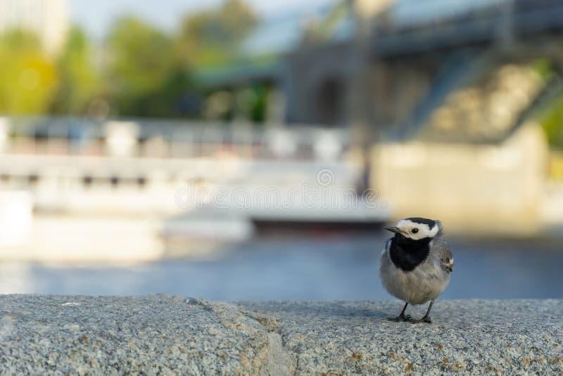 Enlock Chickadee som sätta sig på en vägg royaltyfri fotografi