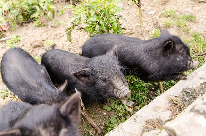 Ennegrezca el cerdo imágenes de archivo libres de regalías