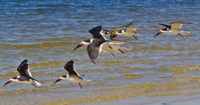 Ennegrezca los pájaros de mar de la desnatadora fotos de archivo