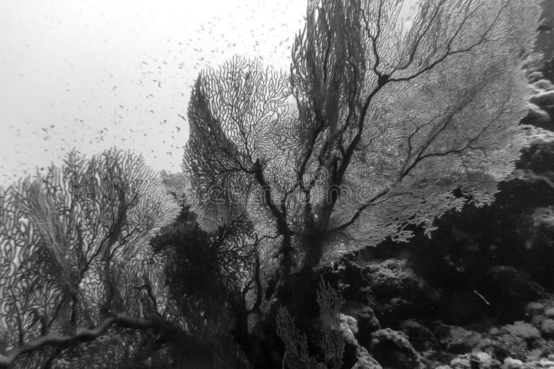 Ennegrezca una fan de mar blanco foto de archivo