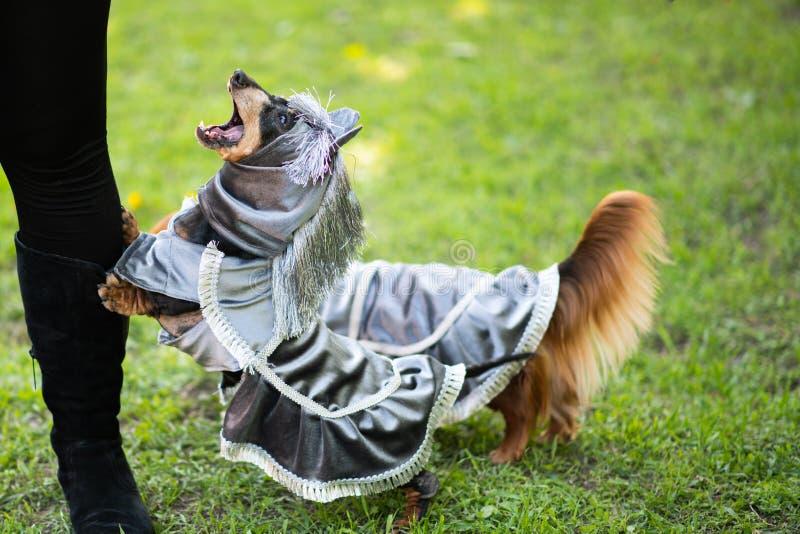 Ennegrezca y broncee el perro basset de pelo corto en traje en el parque foto de archivo libre de regalías