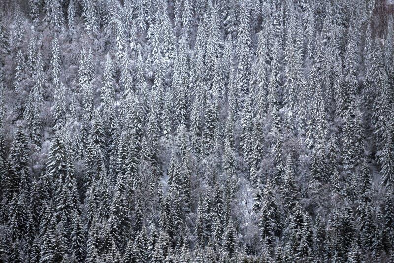 Enneigement sur la région boisée blanche de forêt de montagne images stock