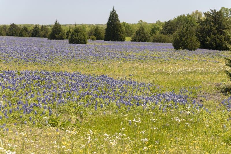 Ennis Texas Bluebonnet Field on Farm stock photography