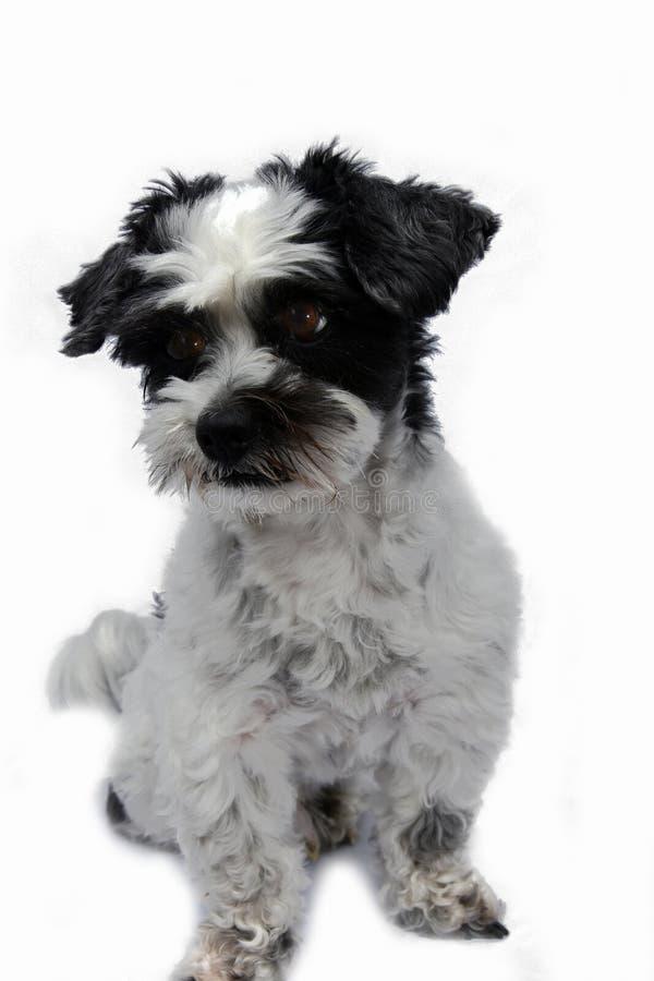 Ennuyé semblant le petit chien avec de grands yeux image libre de droits