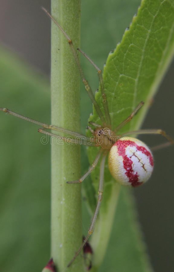 Enoplognatha蜘蛛 免版税库存图片