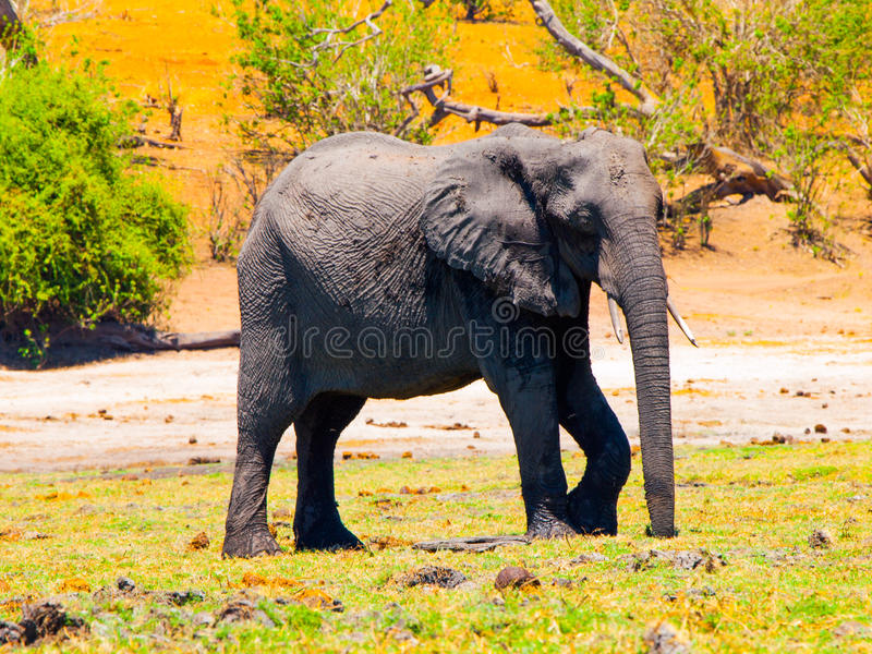 enorm afrikansk elefant royaltyfri fotografi