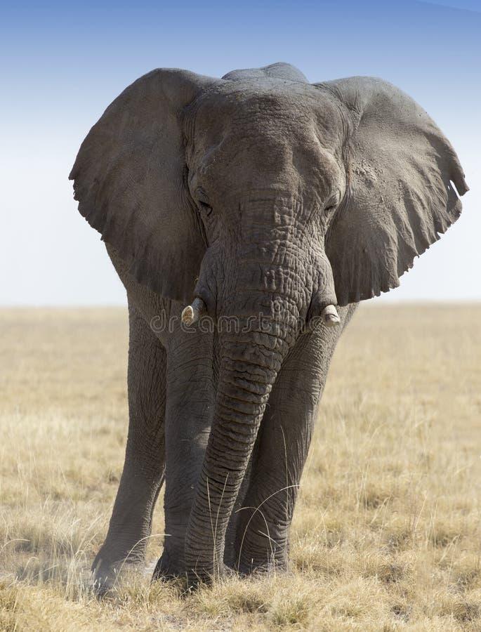 Enorm afrikansk elefant i Namibia arkivbild