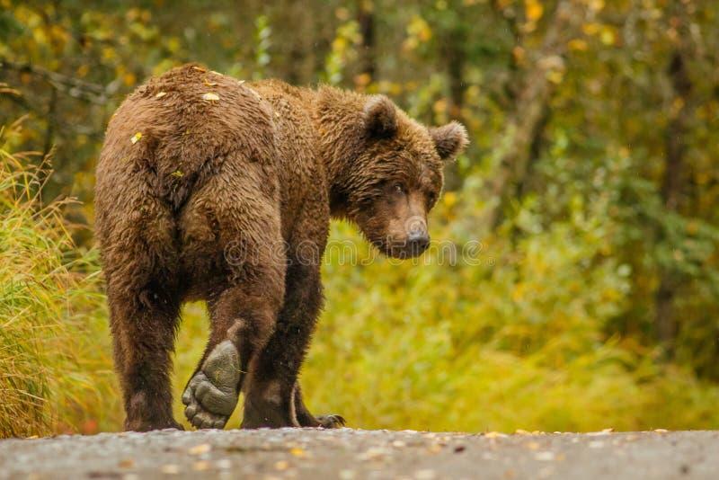Enorm alaskabo björn som leavaing och ger bye-bye fotografering för bildbyråer