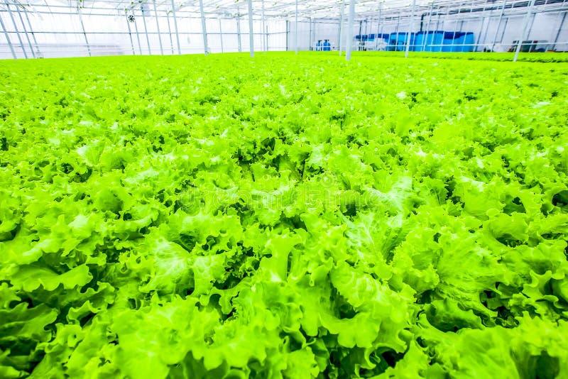 Enorm ammount av sallad - organisk mat fotografering för bildbyråer