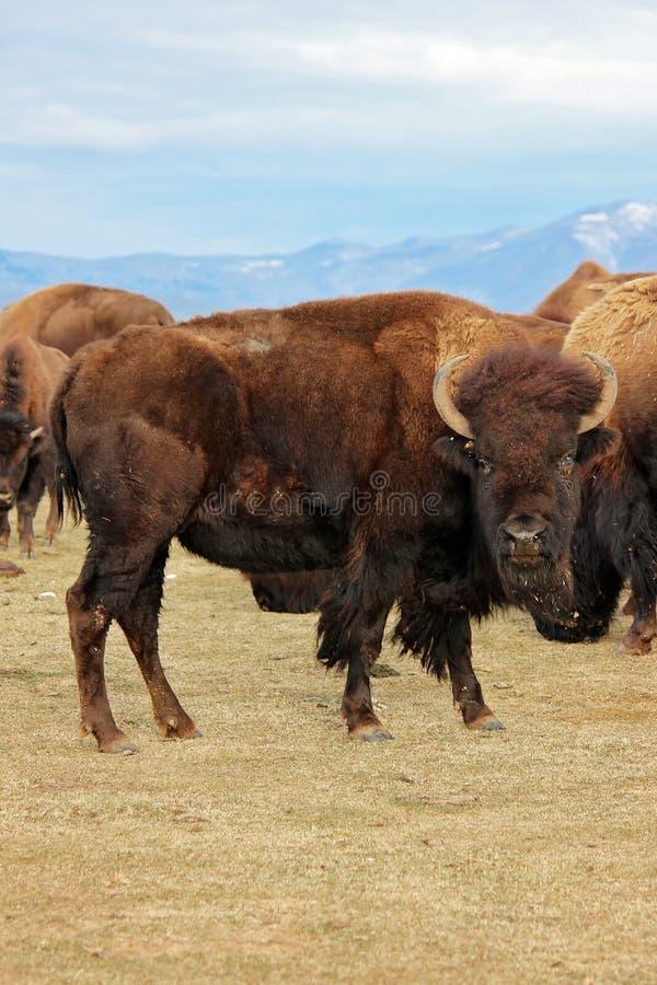 Enorm bison eller buffel med bergbakgrund royaltyfri fotografi
