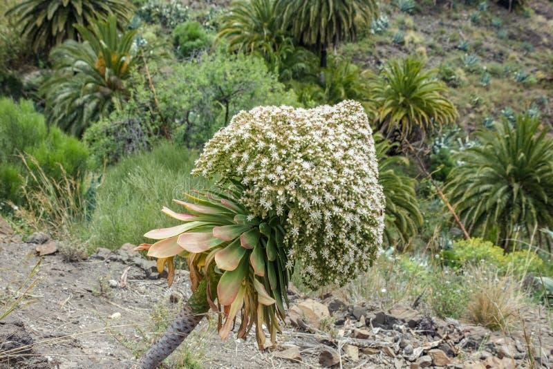 Enorm blomningblomma av canarian houseleek Sempervivum i den Masca klyftan, Tenerife Ravin eller barrancoen leder ner till royaltyfri bild