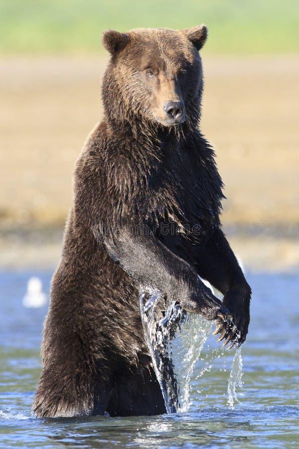 Enorm brunbjörn med långa jordluckrare som står i floden royaltyfri bild