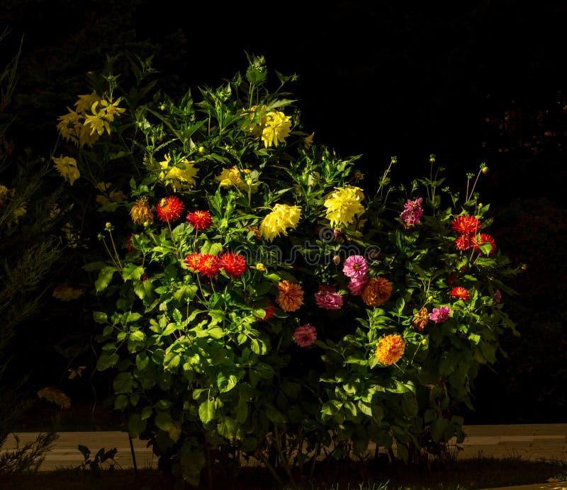 Enorm buske av färgrika dahlior i ljusen av nattbelysning royaltyfri foto
