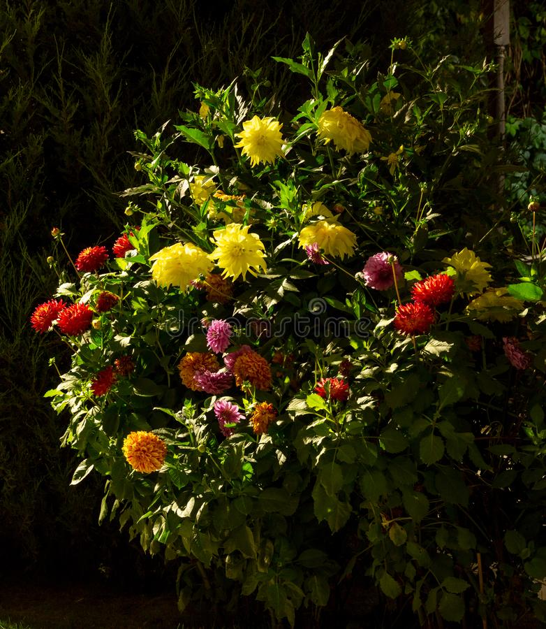 Enorm buske av färgrika dahlior i ljusen av nattbelysning royaltyfri fotografi