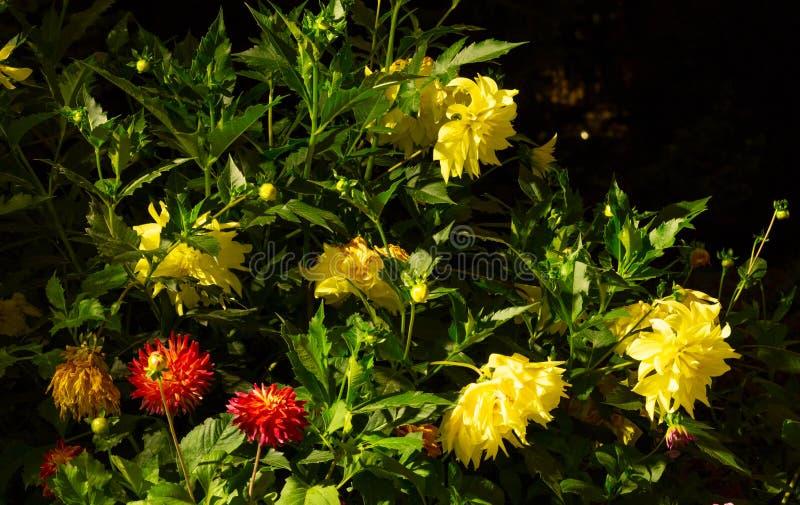 Enorm buske av färgrika dahlior i ljusen av nattbelysning arkivbild