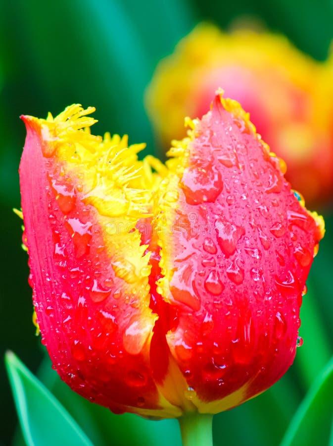 Enorm detalj av den röda gula tulpanblomman med regndroppar på kronblad bakgrund suddighet green Typiska blommor för Nederländern royaltyfria bilder