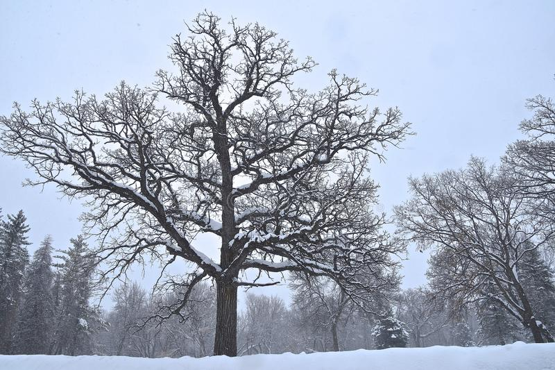 Enorm ek silhouetted i vintern royaltyfria foton