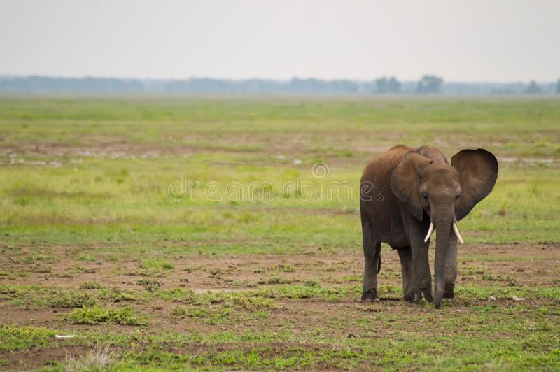 Enorm elefant på slingan i savannahen arkivbilder