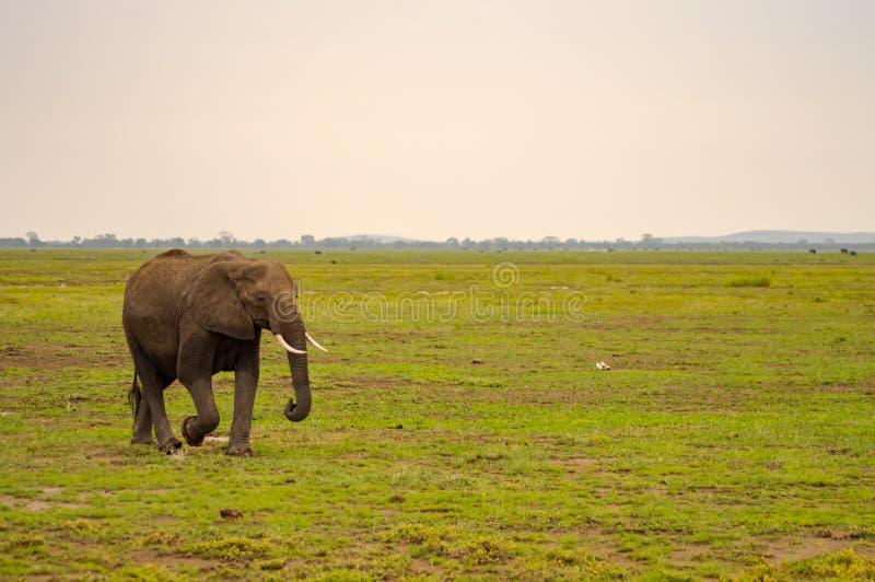 Enorm elefant på slingan i savannahen royaltyfri foto