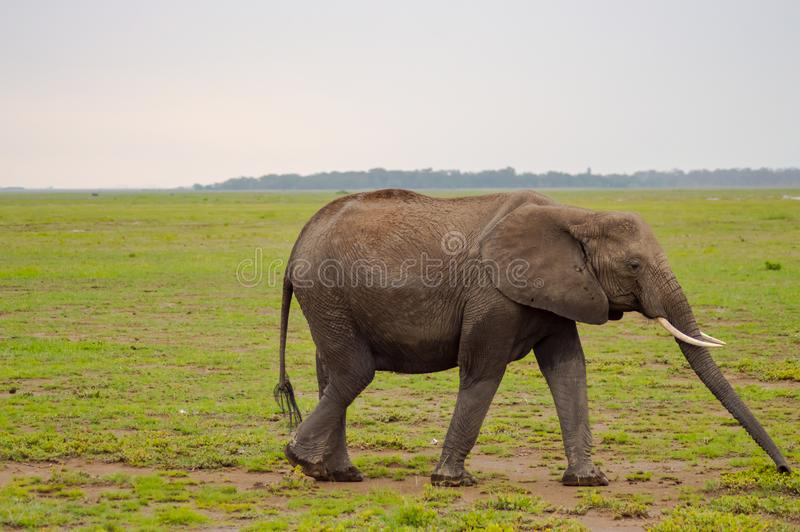Enorm elefant på slingan i savannahen arkivfoton
