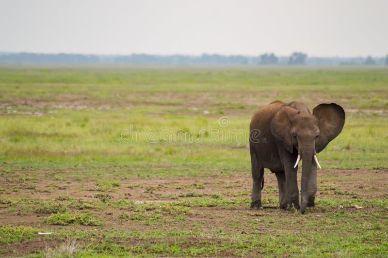 Enorm elefant på slingan i savannahen av Amboseli royaltyfri fotografi