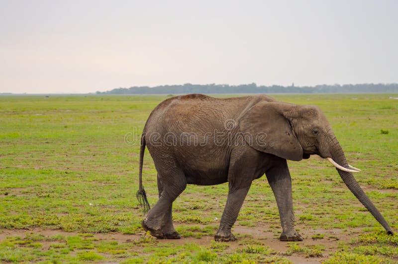 Enorm elefant på slingan i savannahen av Amboseli royaltyfria foton