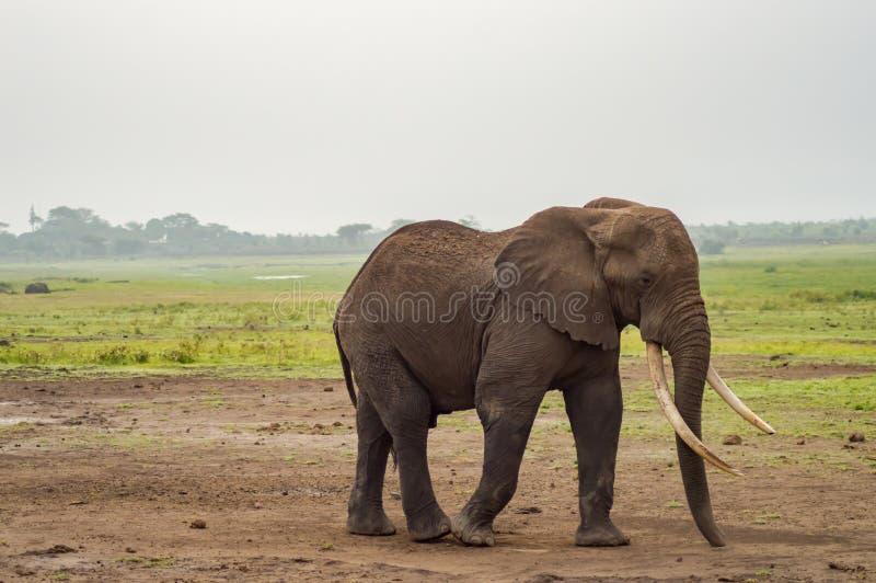 Enorm elefant på slingan i savannahen av Amboseli fotografering för bildbyråer