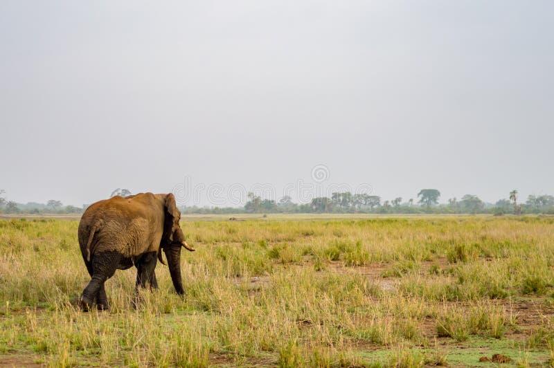 Enorm elefant på slingan i savannahen av Amboseli arkivfoto