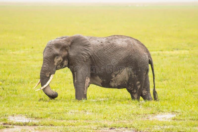 Enorm elefant på slingan i savannahen av Amboseli royaltyfri foto