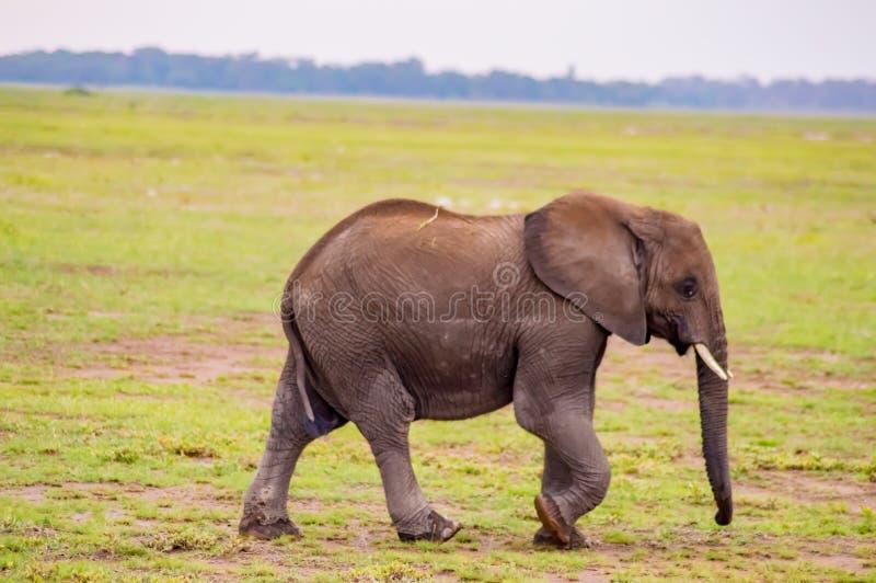 Enorm elefant som isoleras på slingan i savannahen arkivbild