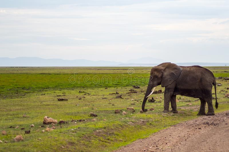 Enorm elefant som isoleras på slingan i savannahen av Amboseli arkivbild