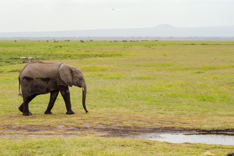Enorm elefant som isoleras på slingan i savannahen av Amboseli royaltyfria foton