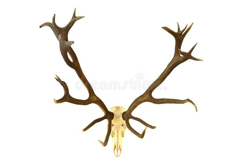 Enorm för bockjakt för röda hjortar trofé royaltyfri fotografi