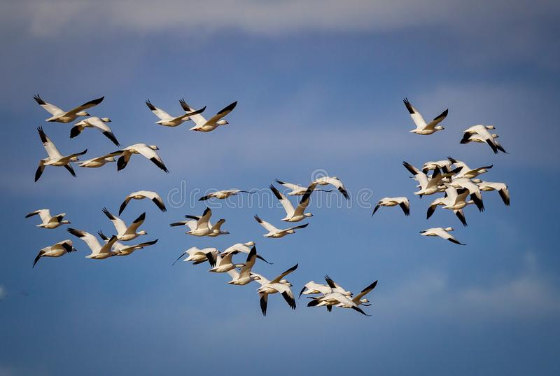 Enorm flock av att vandra snögäss i den blåa himlen royaltyfria foton