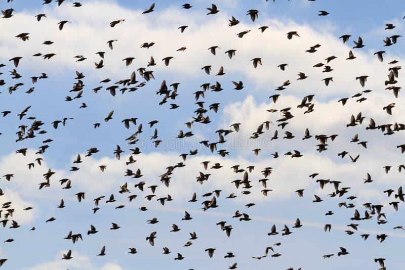 Enorm flock av fåglar som flyger i himlen arkivbild