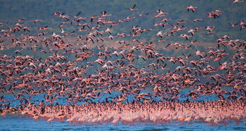 Enorm flock av flamingo som tar av kenya _ Nakuru National Park SjöBogoria nationell reserv arkivbilder