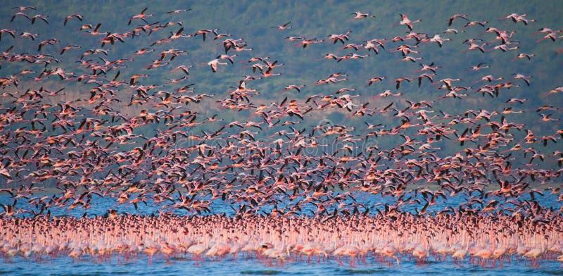 Enorm flock av flamingo som tar av kenya _ Nakuru National Park SjöBogoria nationell reserv royaltyfri fotografi