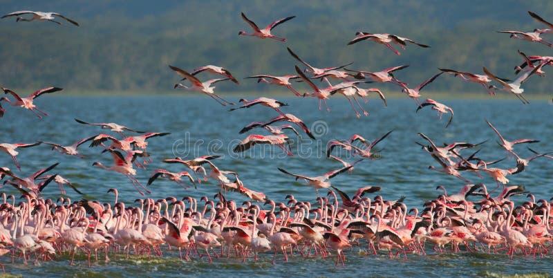 Enorm flock av flamingo som tar av kenya _ Nakuru National Park SjöBogoria nationell reserv royaltyfri foto