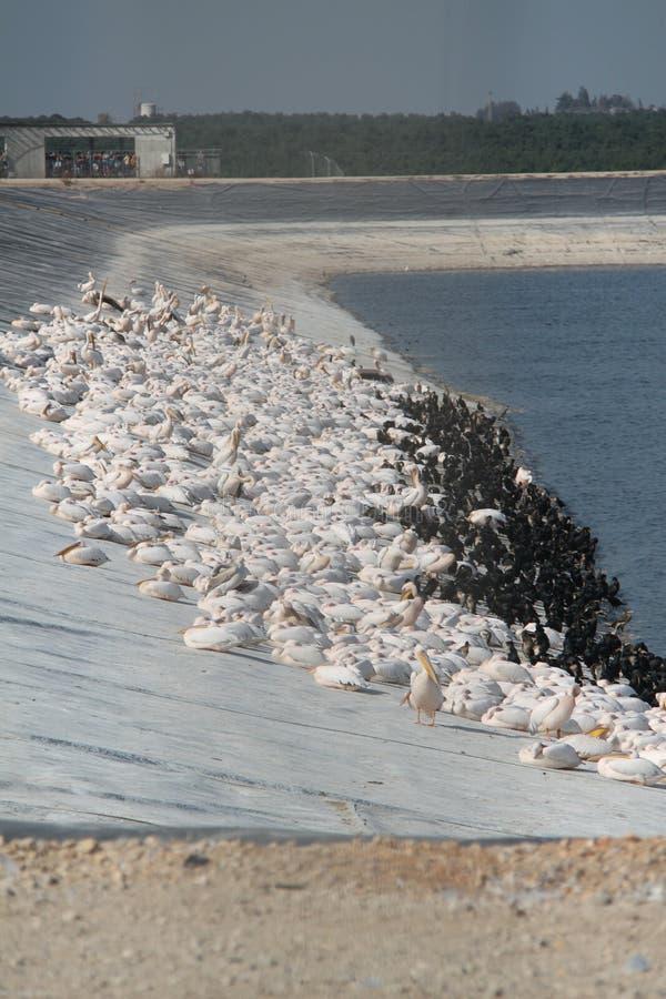 Enorm flock av pelikan över sjöbanken arkivfoto