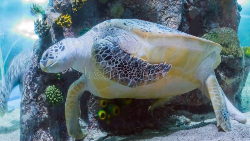 Enorm gräsplan- eller loggerheadsköldpaddasimning i havet en djur stående för marin- closeup för havsliv royaltyfria bilder