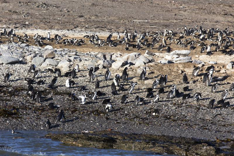 Enorm grupp av pingvin i Namibia arkivfoto