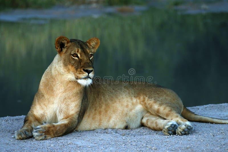 Enorm Kalahari lejoninna royaltyfria bilder
